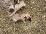 Belgický ovčák Malinois, krásné feny