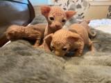 Zdravá 3 chlapci a 2 dívky Sphynx koťata