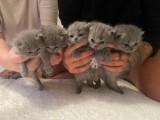12 týdnů stará britská krátkosrstá kočička.