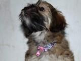 Havanese bichon štěně