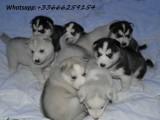 Čistokrvni štenci sibirskog haskija s punim rodovnikom