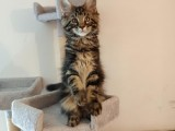 Exkluzivní mainská mývalí koťata s PP